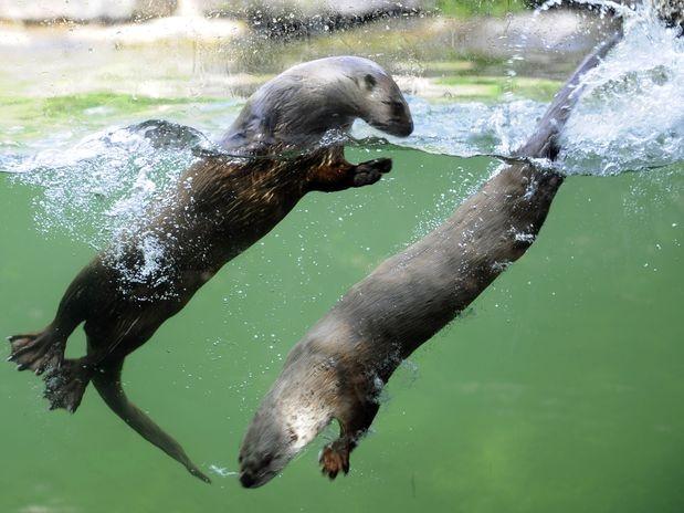 Lontras canadenses são vistas na águas  Foto: AFP
