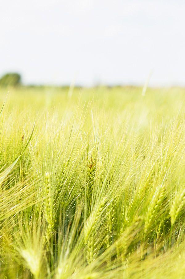 wheat field (photo by béa peltre)