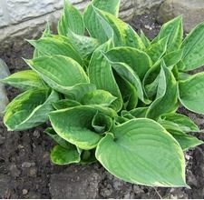 Hostas are a great perennial to have in your garden. They're easy to care for, do well in shady areas and look beautiful. For maximum effect, keep them well-maintained by pruning them regularly. Click in to learn more, courtesy of eHow.