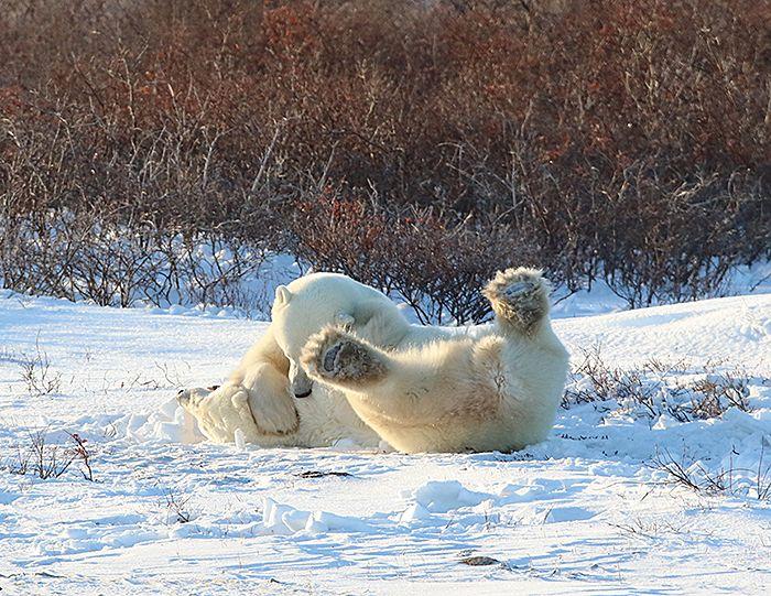 polar-bear-greetings-5