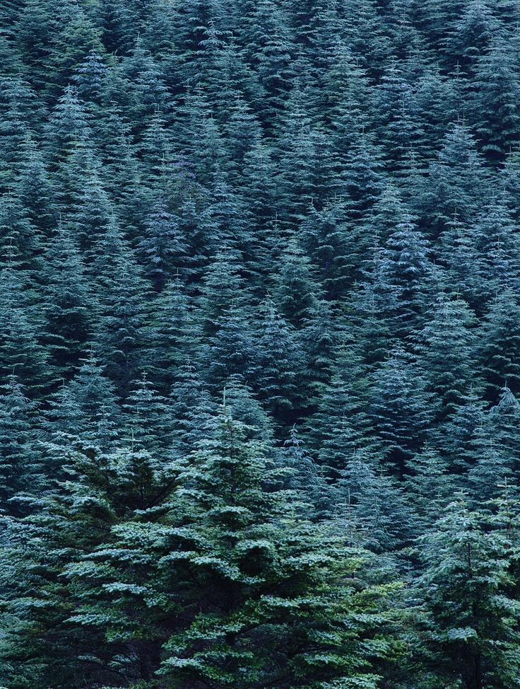 Living Blue Spruce Christmas Tree