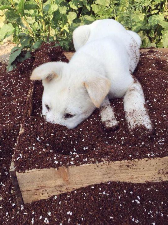 this would be our Alejandro... if only Barry would let him dig. He's a terrier for sure!  :D  Chihuahua mix indeed...