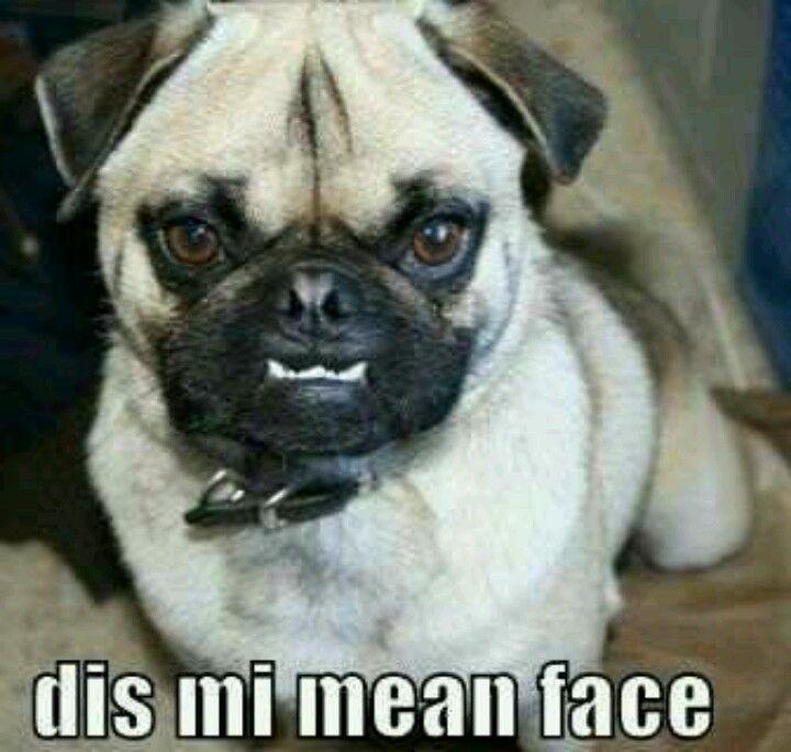 Pug mean face, I still hug him