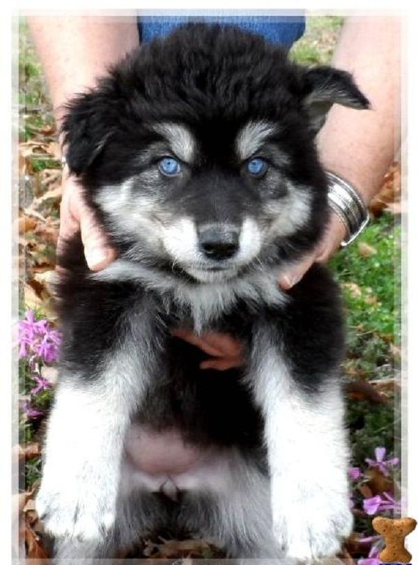 black husky wolf mix puppies | Zoe Fans Blog