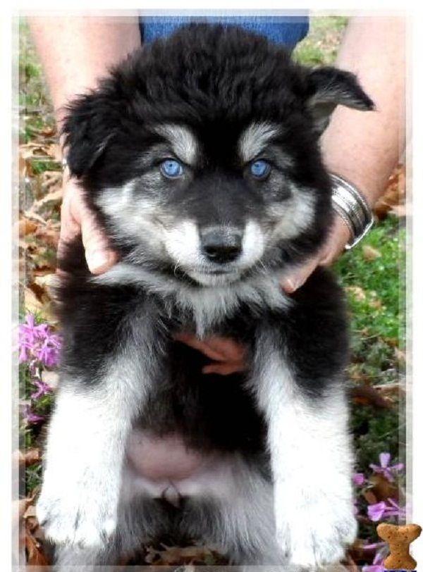 black husky wolf mix puppy