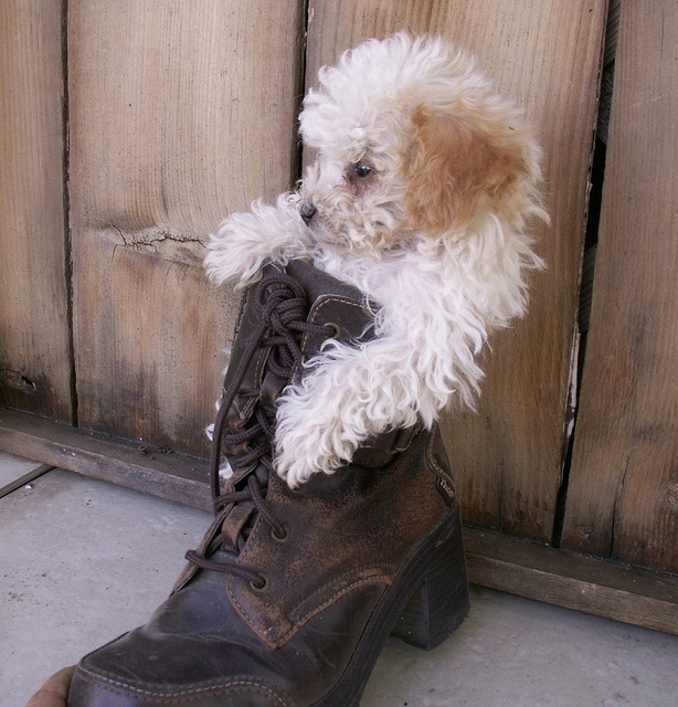 pup in boot   Flickr - Photo Sharing!