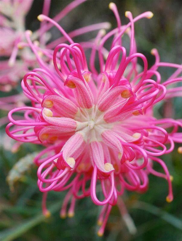 Grevillea [Family: Proteaceae]