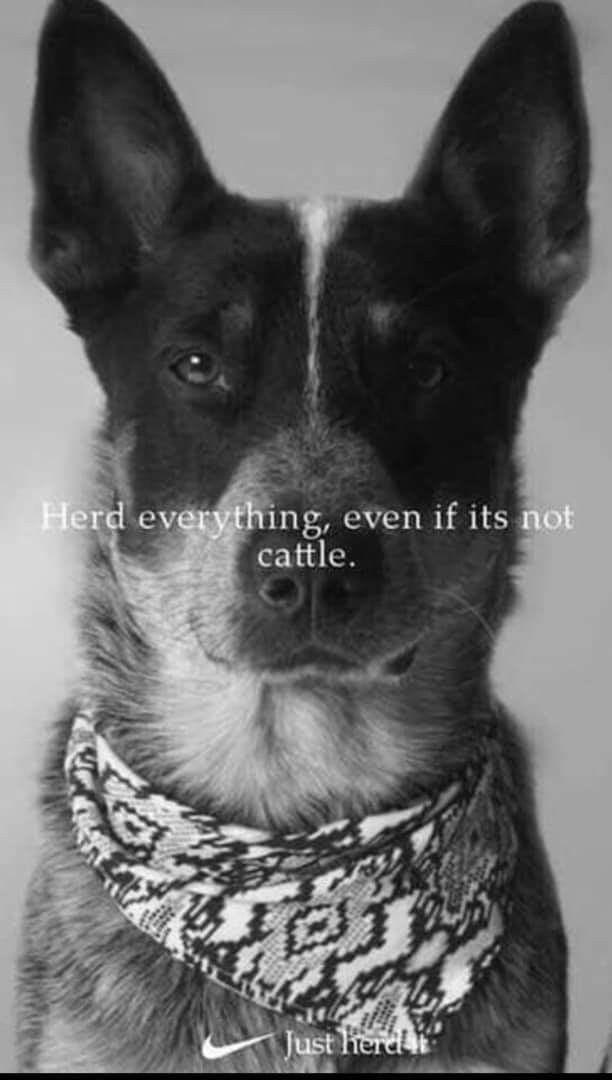 Herd Everything Pet Bloggers Of Pinterest Aussie Cattle Dog