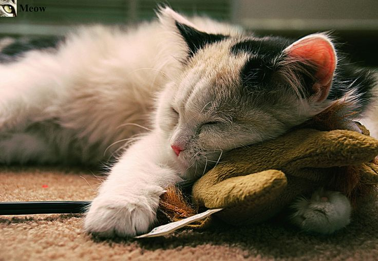 Sleeping cat 😸 https://www.youtube.com/c/WeMeow #cat #cats #wemeow #meow #catlife #cutecat #catlove #lovecats #gatos #gatti #koty #katze #chats #kitty #kitten #kittens #lovecat #funnycat #cateye #beautifulcat #nicecat #amazingcat #catlooking #catofinstagram #catsoftumblr #catstagram #instapets #instacat #pet #pets