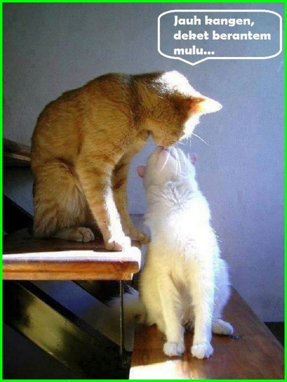 5000 Gambar Kucing Lucu Imut Dan Paling Menggemaskan Sedunia Gambar Kucing Lucu Humor Kucing Dan Kucing Lucu