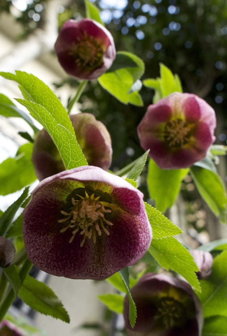Hot Plant Hellebores: 106 Best Images About Helleborus On Pinterest