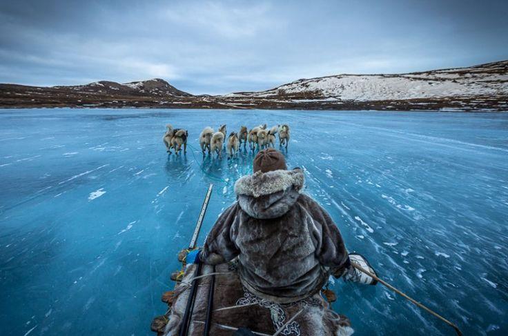 Chiens de traîneau au Groenland