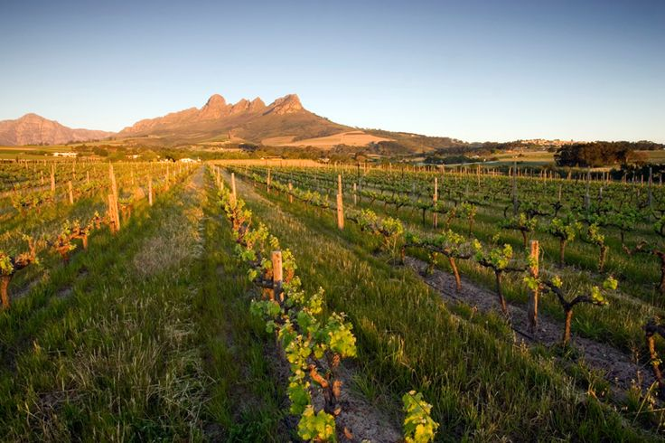 Tokara vineyard