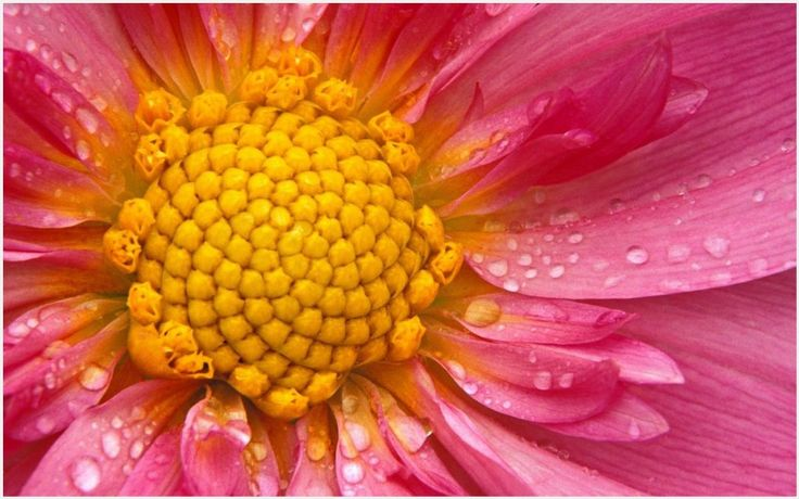 Pink Flower Petal Wallpaper | pink flower petal wallpaper 1080p, pink flower petal wallpaper desktop, pink flower petal wallpaper hd, pink flower petal wallpaper iphone