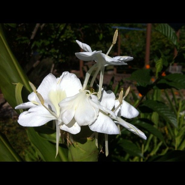 Smells like heaven! Hedychium coronarium 'White Butterfly' from Brent and Becky's Bulbs.  It is a great plant.... a little slow to start. But great for fall fragrance. It smells a bit like gardenia!