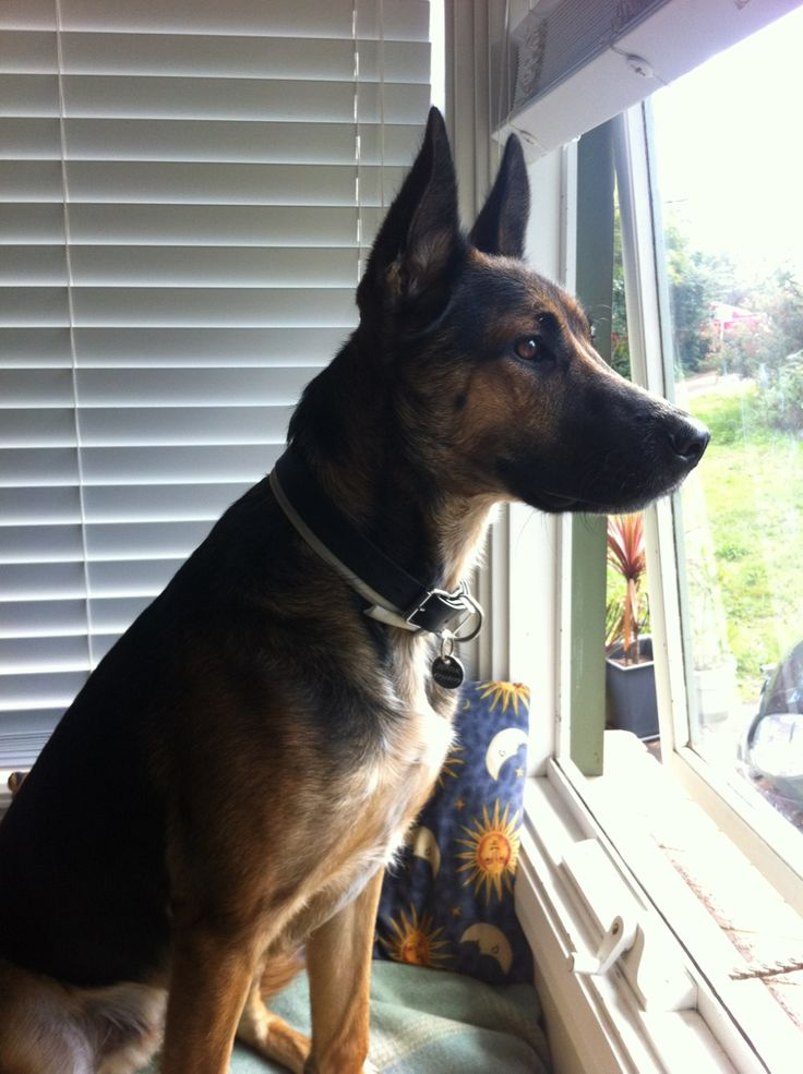 Keeping a lookout on things, Dexter the German Shepherd cross Cattle Dog has his eyes fixed on the property boundary.