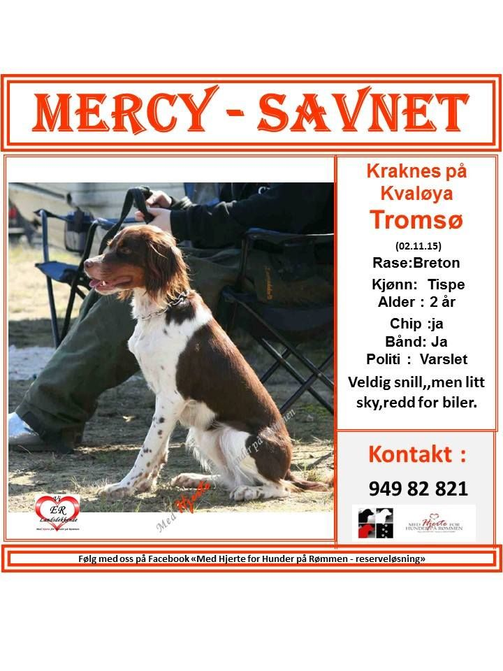 SAVNET: Kraknes på Kvaløya,Tromsø ( 02.11.15).. NAVN: Mercy.RASE: Breton.KJØNN: Tispe.. ALDER: 2 år.CHIP: Ja.BÅND: Ja.POLITI: Varslet.. KONTAKT: 949 82 821.. HJERTEkontakt: Lucia 992 68 386 og Anne B 920 20 142 (Sak opprettet dato 08.11.15 og kl 10:10 ved Lucia ) Følg denne annonsen her videre hos oss i «Med Hjerte for Hunder på Rømmen»https://www.facebook.com/groups/729942270382489/permalink/1012949075415139/
