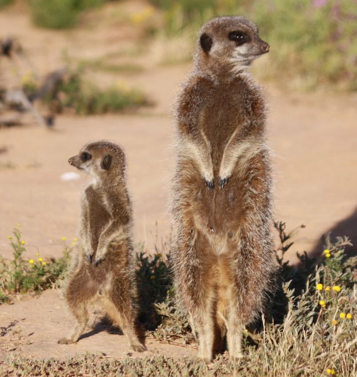 Meerkat mom and baby. Collective noun for meerkats? a GANG!  Meeting them up-close in their natural environment in Oudtshoorn is soooooo special!