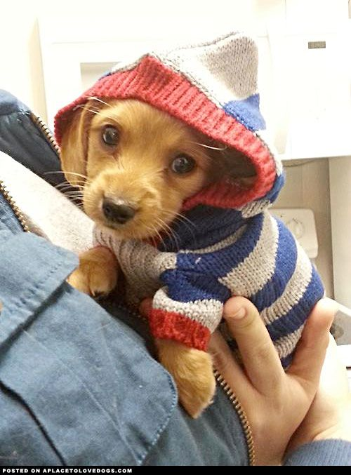 7-week-old long haired Dachshund puppy Slinky in a hoodie. ONE DAY I WILL HAVE ONE OF THESE LITTLE GUYS!