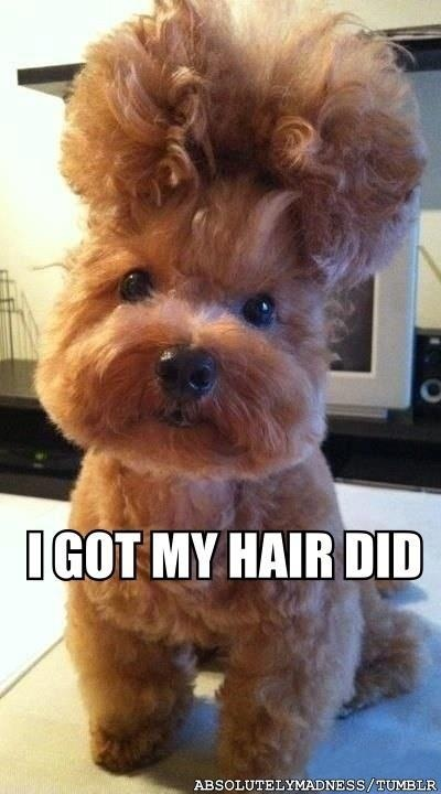 awww...: Funny Dogs, 3 Years Old, So Cute, New Hair, Too Funny, Puppy, Big Hair, Hair Looks, So Funny