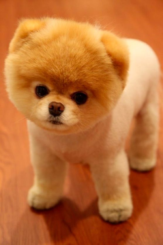 Boo ~ the cutest dog ever
