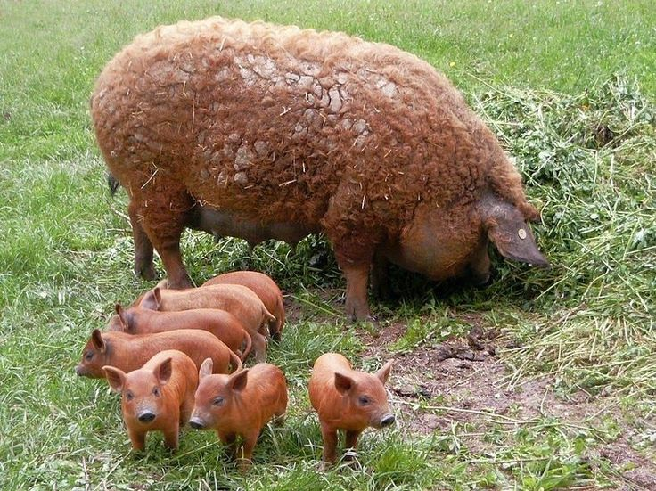mangalitsa sow and babies. This is the last breed in the world to have long, sheep-like hair.