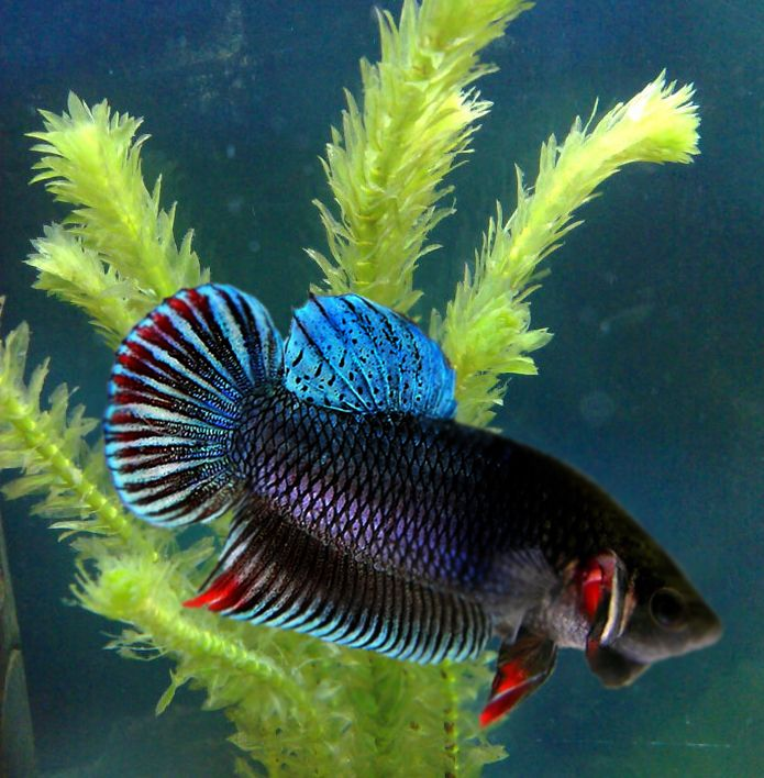 294 best images about kampffische on pinterest copper for Fish that can live with betta fish
