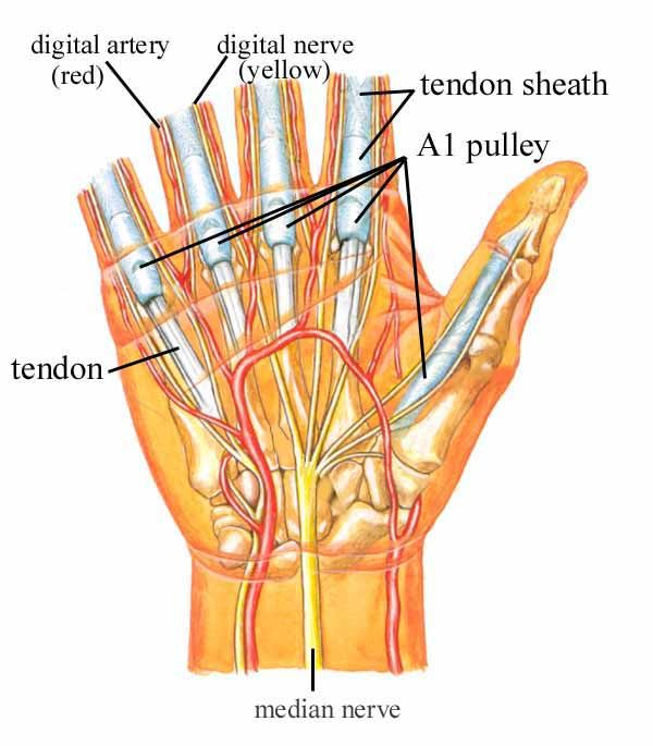 Anatomy of trigger finger