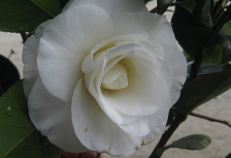 April Snow Camellia - spring blooming, cold hardy, about 5' tall