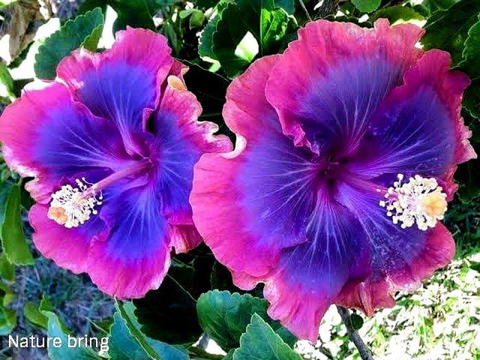 Growing Hibiscus Flower In 2020 Growing Hibiscus Hibiscus Plant Purple Hibiscus