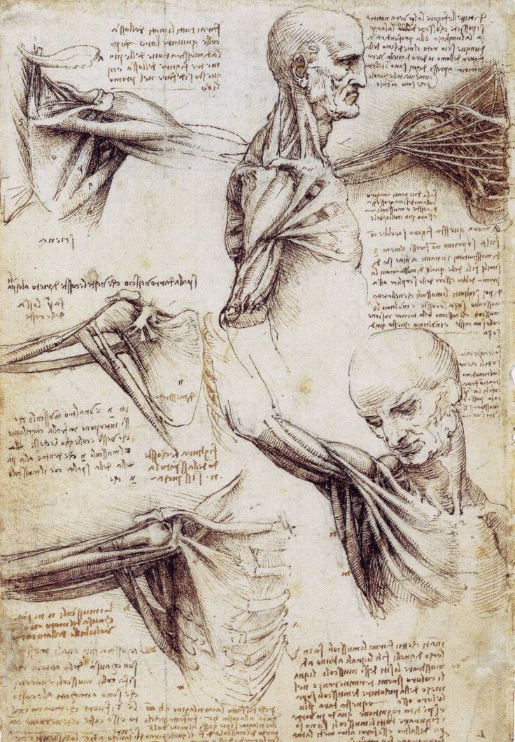dessin leonard de vinci shoulderandneck1 36 56 dessins de Leonard De Vinci  histoire design art
