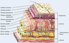 A detailed diagram of the skin structure
