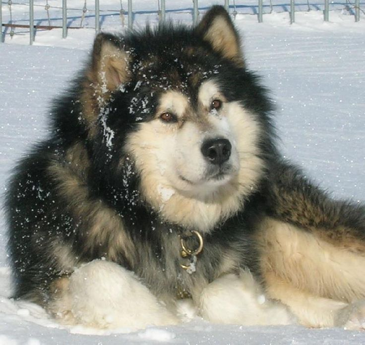 alaskan malamute...ive wanted one for years and finally convinced my boyfriend to get one when we get a dog! :)) yayyy!!