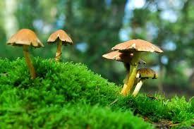 cogumelo alucinógeno - Pesquisa Google