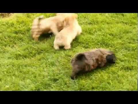 Playful little Yorkiechon puppies (video)
