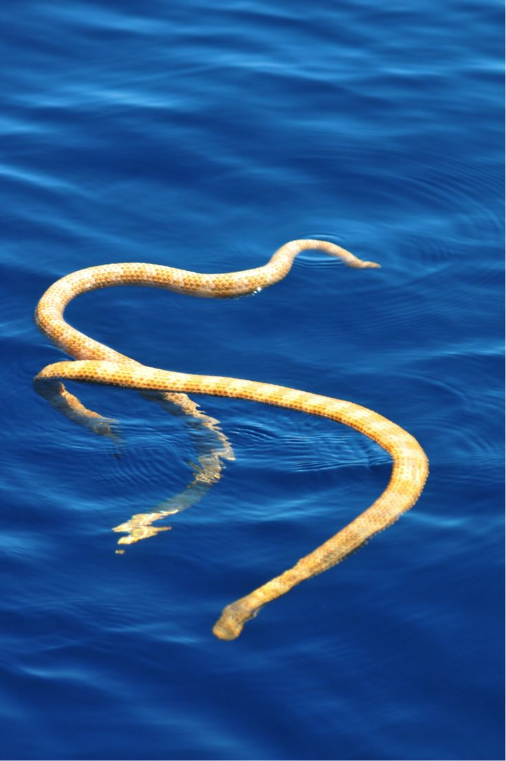 This is a photograph of the rare short nosed sea snake discovered on Ningaloo reef, Western Australia. (Grant Griffin, W.A. Dept. Parks and Wildlife)