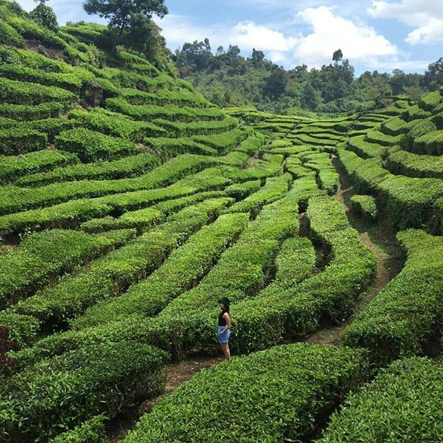 Kebun Teh Walini,Jawa Barat #thisisindonesia Photo by @davidrockyb