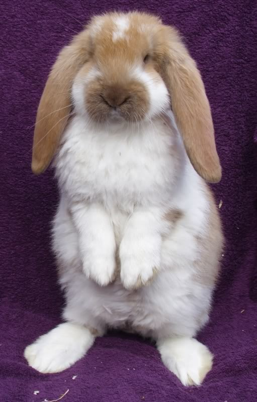 ~ French Lop Rabbit ~via https://www.facebook.com/DhomeBAZAAR