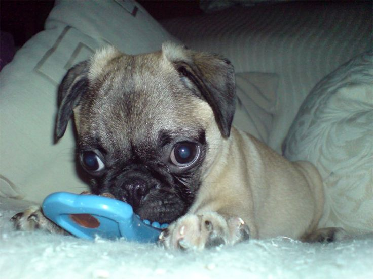 pugs.com | Pug - Breed Pictures and Photos how cute