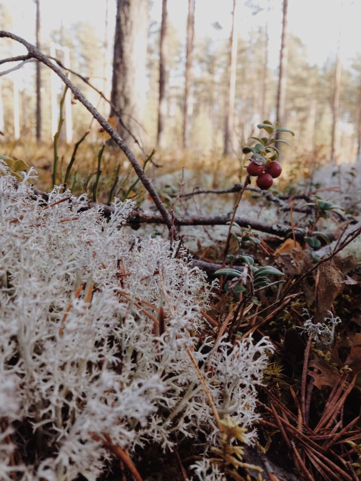 Lichen and lingonberries from a finnish forest.