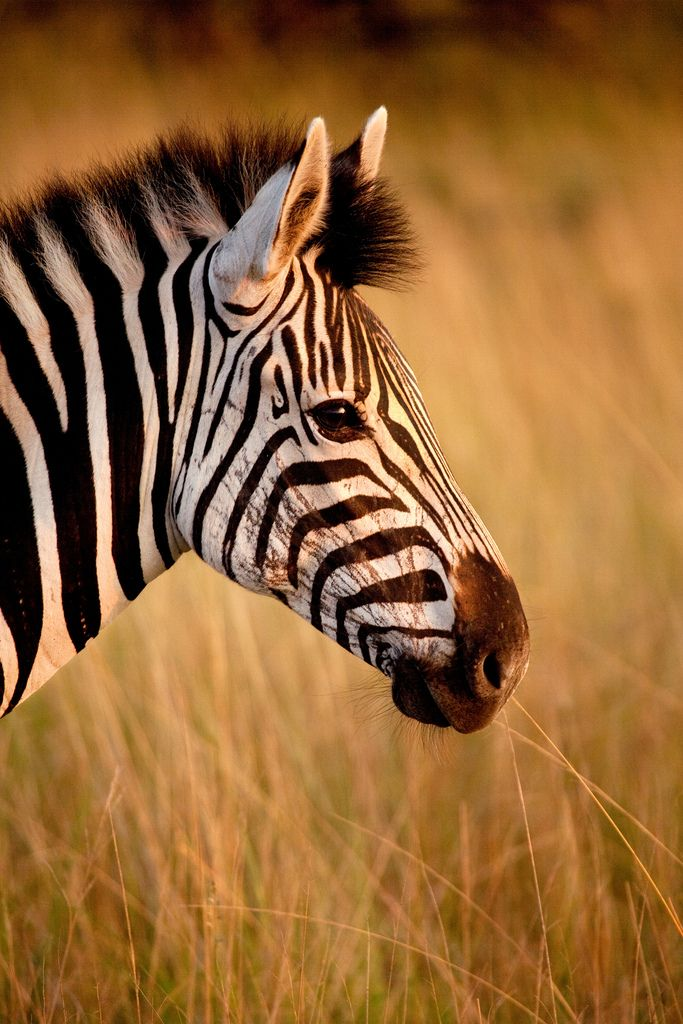 Zebra:  can turn their ears in almost any direction and use this ability to communicate their mood, for example pulled backwards when angry, or standing erect when calm and friendly
