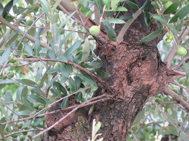 Beauty was, is and probably always will rest with the olive. Few living things in the garden can remind us how fleeting time is. Treasure it, preserve it and enjoy it whilst we can.