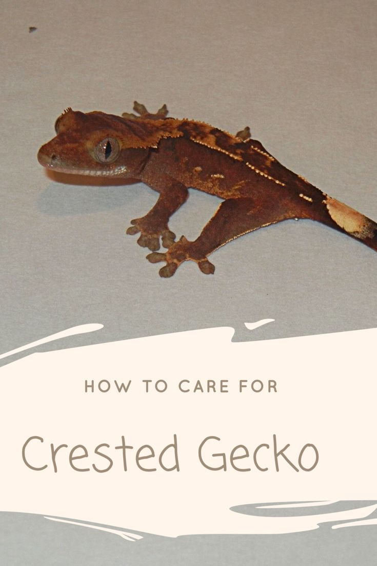 A great Crested Gecko Care Sheet. It goes over the basics of Crested Gecko Care.