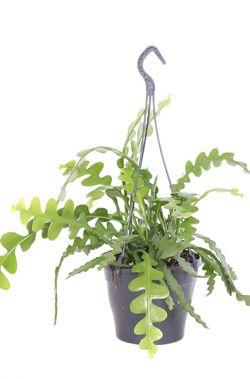 Epiphyllum anguliger (18) kopen