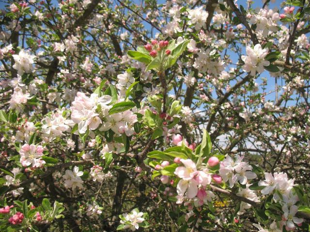 LUIS DESENHA: flores de macieira