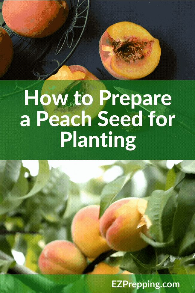 How to prepare a peach seed for planting   Peach trees ...