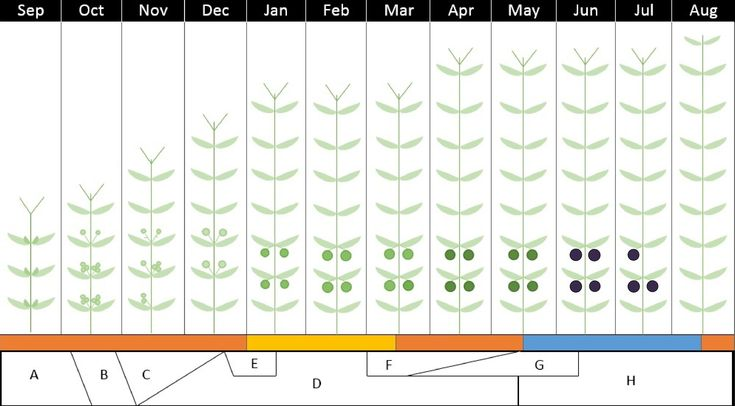 Annual Growth Cycle of the olive tree in South Africa  A: Bud Differentiation B: Flowering C: Fruit Set D: Fruit Growth E: Pit Hardening F: Colouring G: Ripening H: Flower Initiation  Orange: Active Vegetative Growth Yellow: Reduced Vegetative Growth Blue: Resting Period #olivefarm
