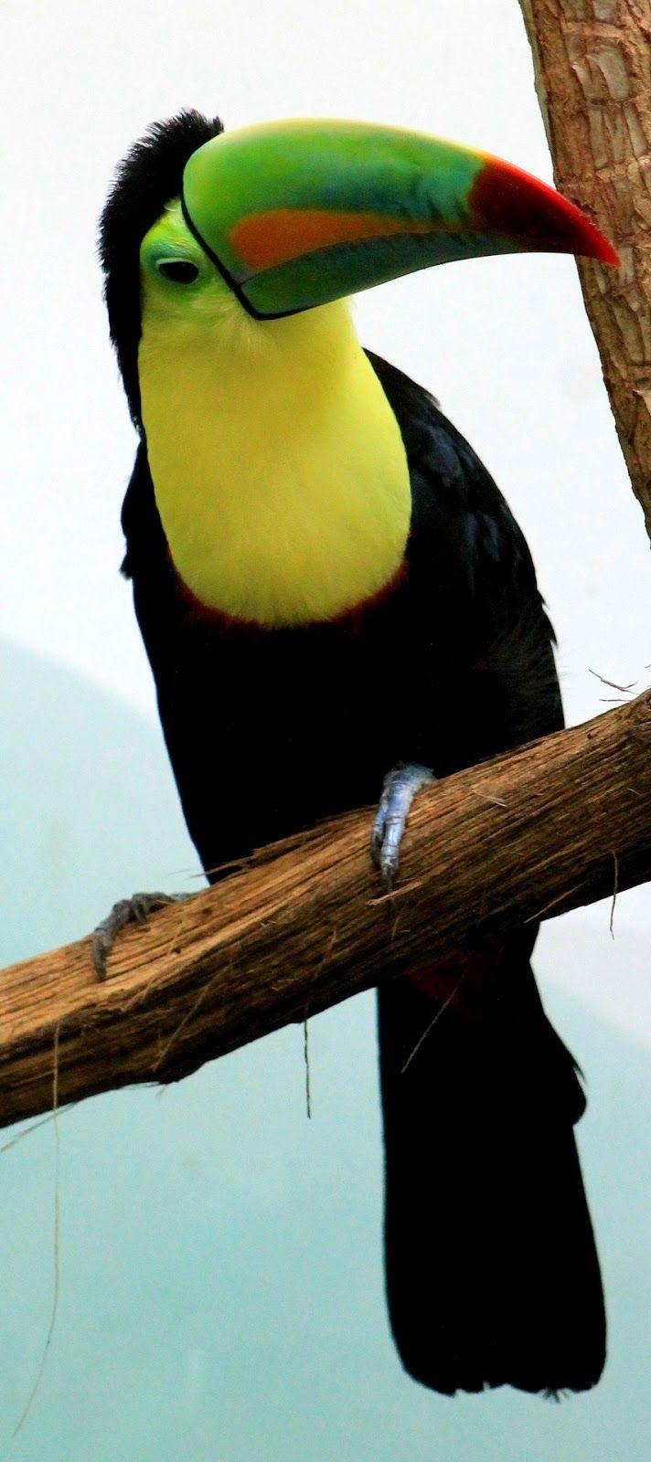 272 best Toucans images on Pinterest | Exotic birds ...