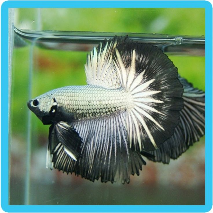 17 best images about betta on pinterest black gold for Black betta fish for sale