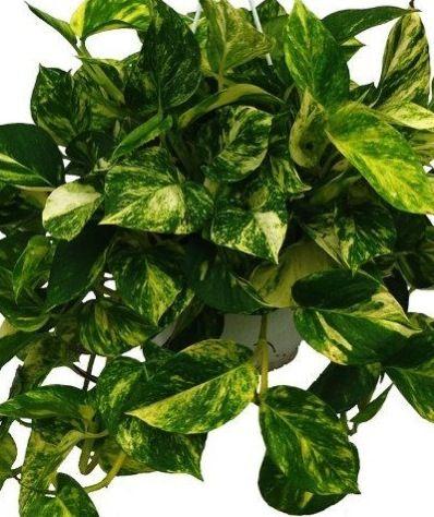 Devils Ivy Epipremnum Aureum Also Known As Pothos From Johnstown Garden Centre Great Value Ireland S